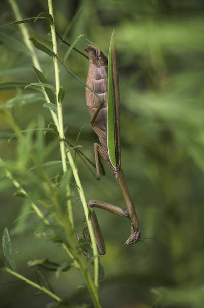 Photograph - Praying Mantis 001 by Donald Brown