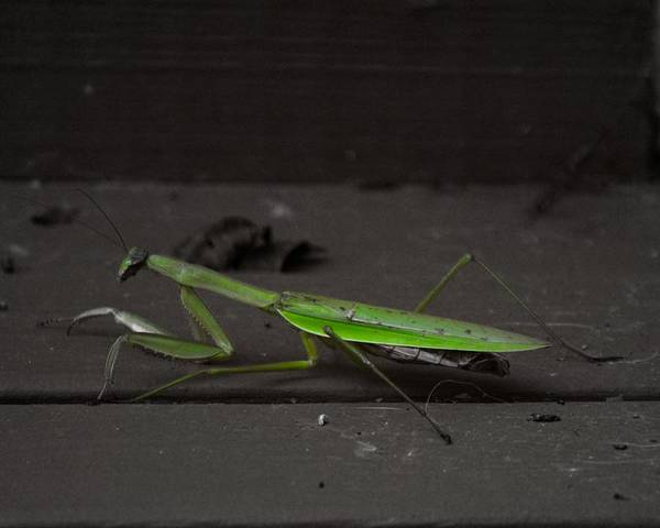Photograph - Praying Mantis 2 by John Feiser