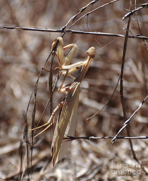 Photograph - Praying Mantis Blending In by Susan Wiedmann