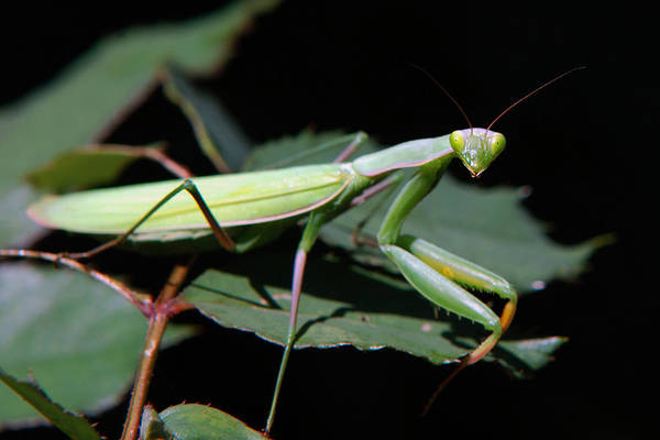Photograph - Praying Mantis by Christina Rollo