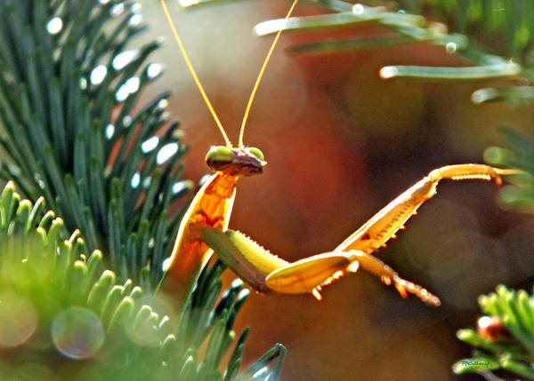 Photograph - Praying Mantis On The Pine Tree 4 by Duane McCullough