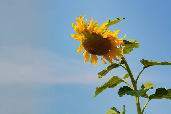 Photograph - Praying Sunflower by Nancy De Flon