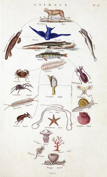 Squid Photograph - Pre-darwinian Taxonomy Confusion by Paul D Stewart