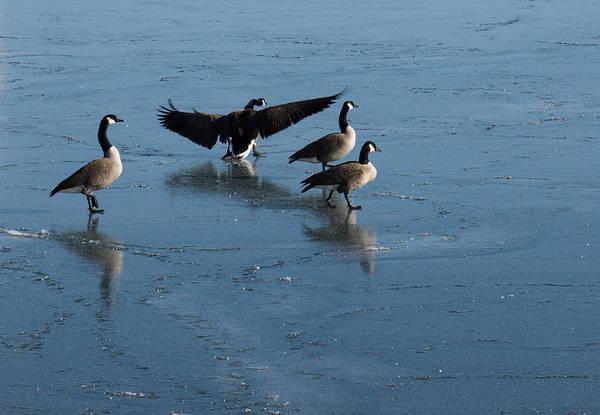 Photograph - Precarious Walk On The Ice - Canada Geese Lake Ontario Toronto by Georgia Mizuleva
