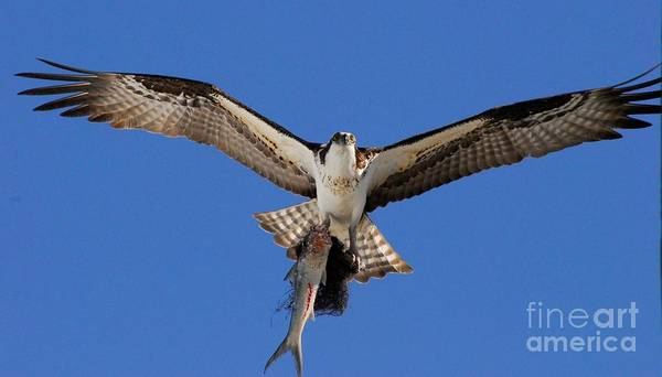 River Hawk Photograph - Precious Cargo by Quinn Sedam