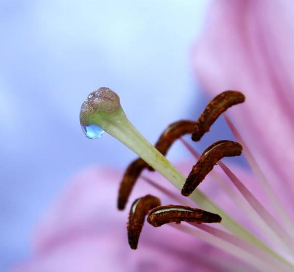 Pink Lily Photograph - Precious Nature by Krissy Katsimbras