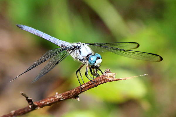 Photograph - Lunch Time The Predator Dragonfly Art by Reid Callaway