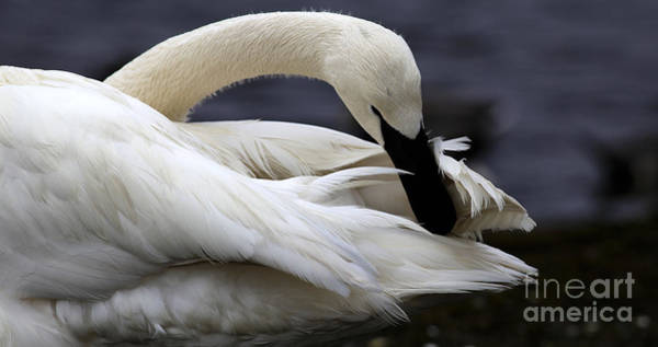 - Preening Swan by Sue Harper