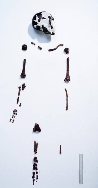 Homo Sapiens Photograph - Prehistoric Human Skeleton (omo 1) by Natural History Museum, London/science Photo Library