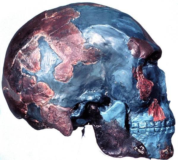 Homo Sapiens Photograph - Prehistoric Human Skull (omo 1) by Natural History Museum, London/science Photo Library