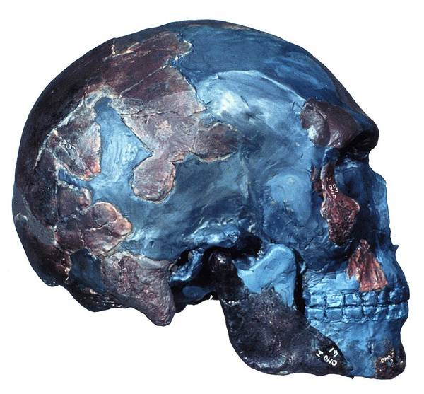 Wall Art - Photograph - Prehistoric Human Skull (omo 1) by Science Photo Library