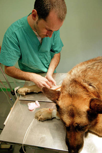 Iv Wall Art - Photograph - Preparing A Dog For Surgery by Mauro Fermariello/science Photo Library