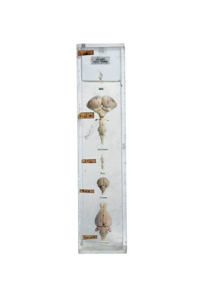 Comparative Anatomy Wall Art - Photograph - Preserved Brains by Gregory Davies