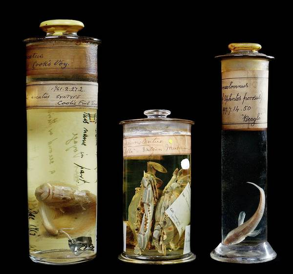 Endeavour Photograph - Preserved Museum Specimens by Natural History Museum, London/science Photo Library