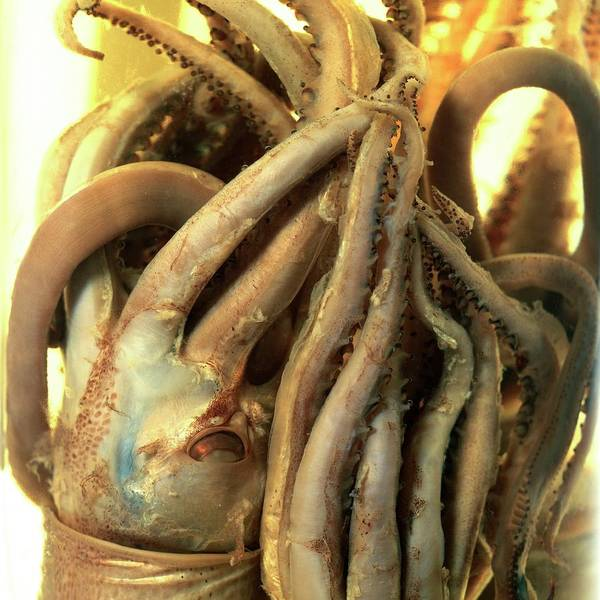 Squid Photograph - Preserved Squid by Natural History Museum, London/science Photo Library