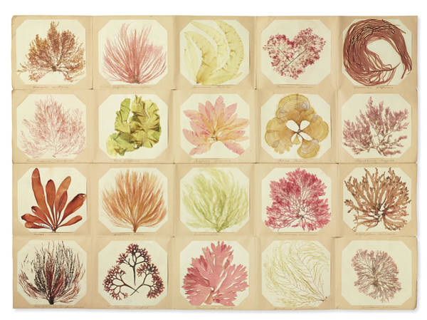 Seaweed Photograph - Pressed Seaweed Book by Natural History Museum, London/science Photo Library
