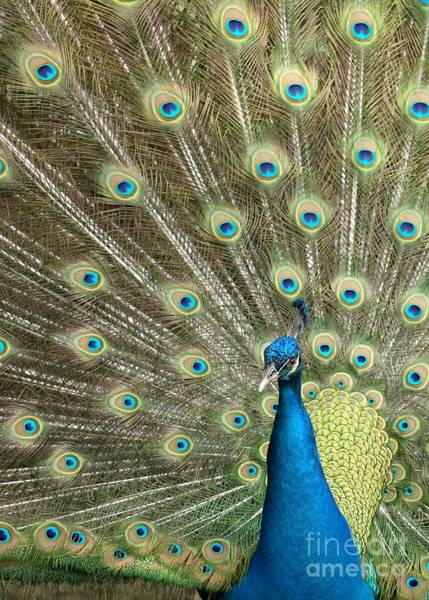 Photograph - Pretentious Peacock by Sabrina L Ryan