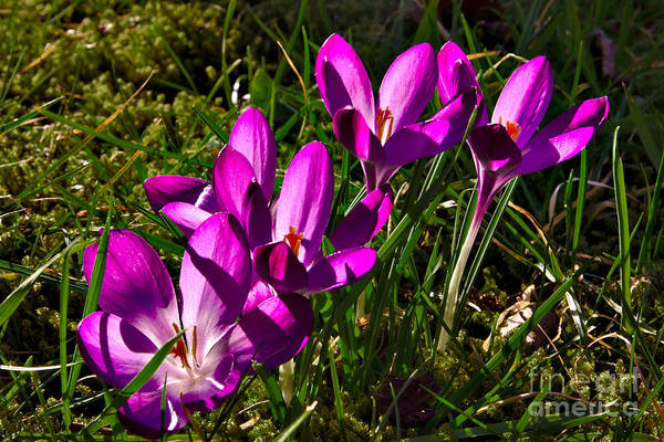 Photograph - Pretty Crocus by Jeremy Hayden