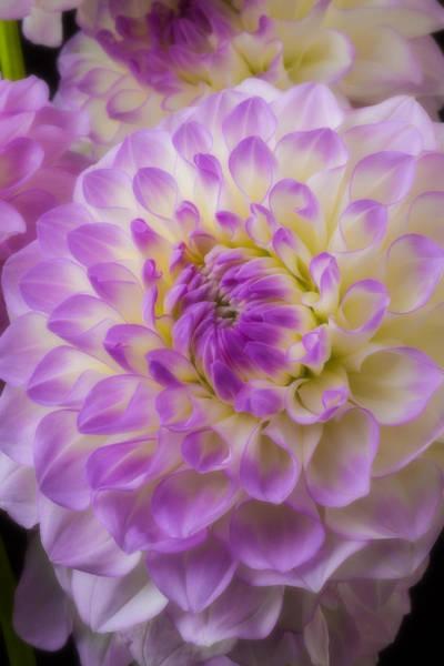Softly Photograph - Pretty Dahlia by Garry Gay