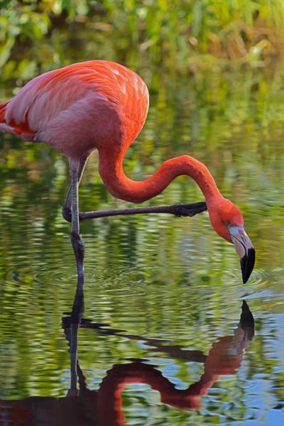 Photograph - Pretty Flamingo by Dragan Kudjerski