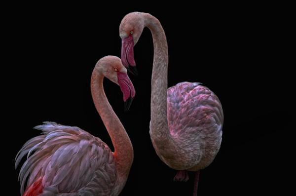 Bird Pair Photograph - Pretty Flamingos by Joachim G Pinkawa