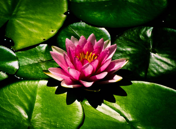 Nymphaea Lotus Photograph - Pretty In Pink by Christi Kraft