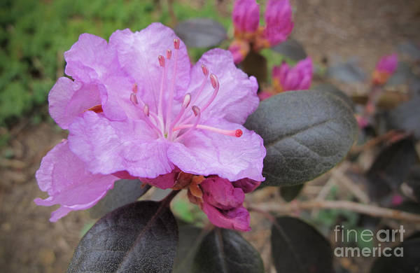 Azalia Photograph - Pretty In Pink Three by Arlene Carmel