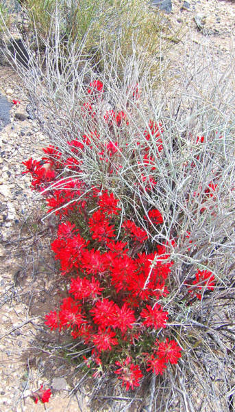 Desert Paintbrush Photograph - Pretty In Red by Marilyn Diaz
