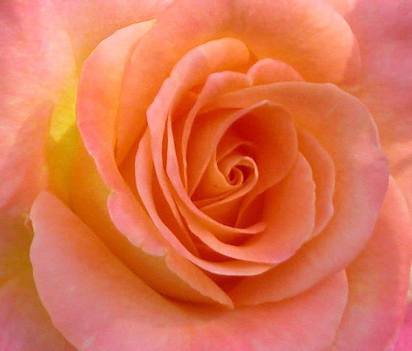 Photograph - Pretty Peach Rose by Anne Cameron Cutri