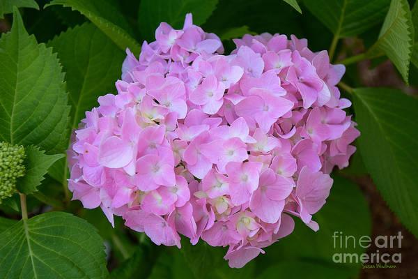 Photograph - Pretty Pink Hydrangea by Susan Wiedmann