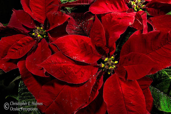 Photograph - Pretty Poinsettias  by Christopher Holmes