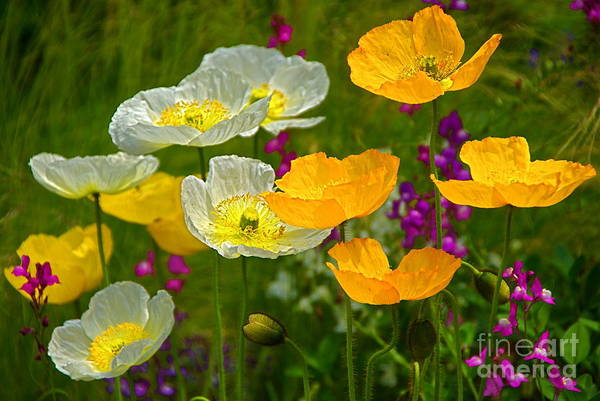 Photograph - Pretty Poppies by Byron Varvarigos