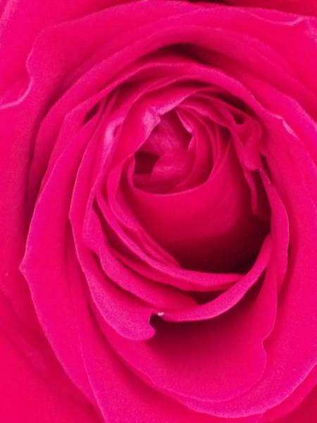 Photograph - Pretty Red Rose  by Marian Palucci-Lonzetta