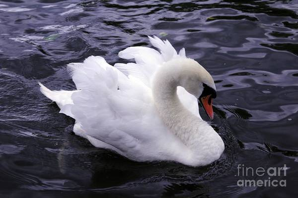 Photograph - Pretty Swan by Jeremy Hayden