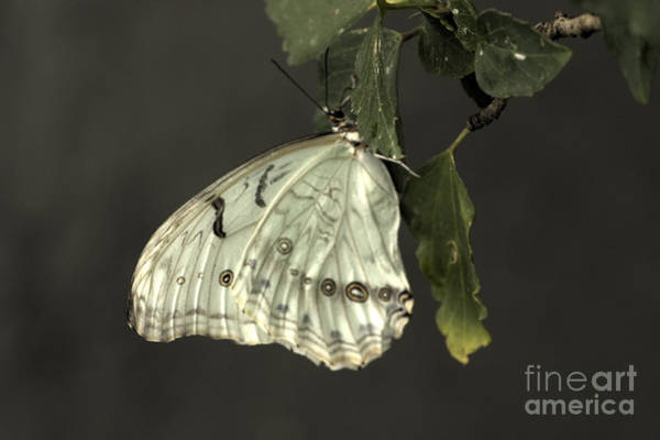 Photograph - Pretty White Butterfly by Jeremy Hayden