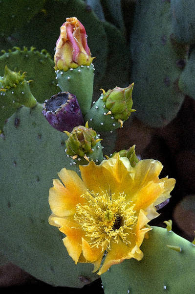 Prickly Pear Photograph - Prickly Colors by Robert Anschutz