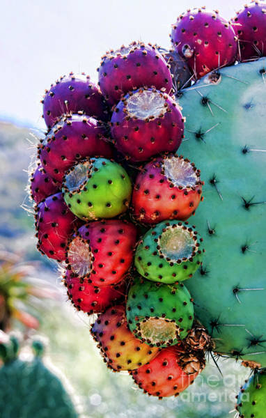 Photograph - Prickly Pear Cactus By Diana Sainz by Diana Raquel Sainz