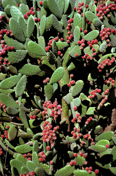 Prickly Pear Photograph - Prickly Pear Cactus by Dr Jeremy Burgess/science Photo Library