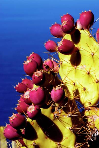 Prickly Pear Photograph - Prickly Pear Cactus Fruits by Dr. John Brackenbury/science Photo Library
