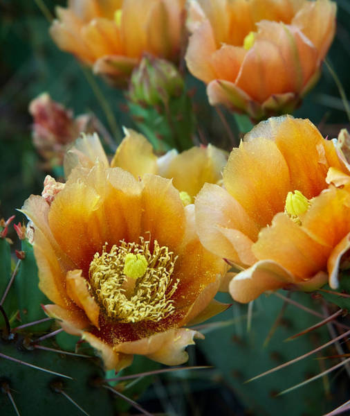 Photograph - Prickly Pear Cactus by Mary Lee Dereske