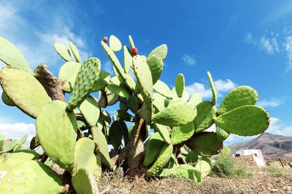 Opuntia Photograph - Prickly Pear Cactus by Wladimir Bulgar