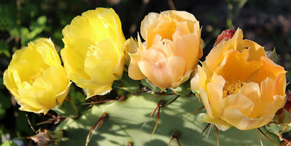 Photograph - Prickly Pear No. 2 by Susan Schroeder