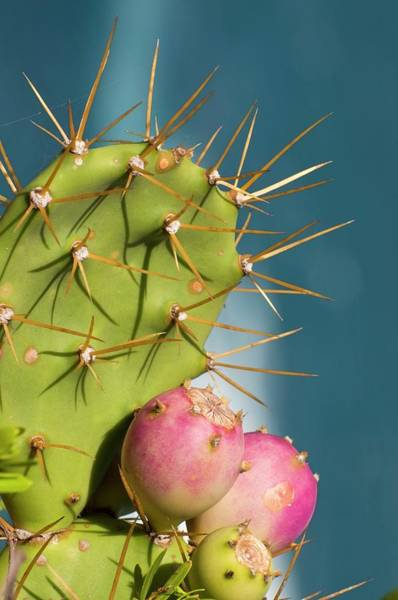 Prickly Pear Photograph - Prickly Pear (opuntia Ficus-indica) by Dr. John Brackenbury/science Photo Library