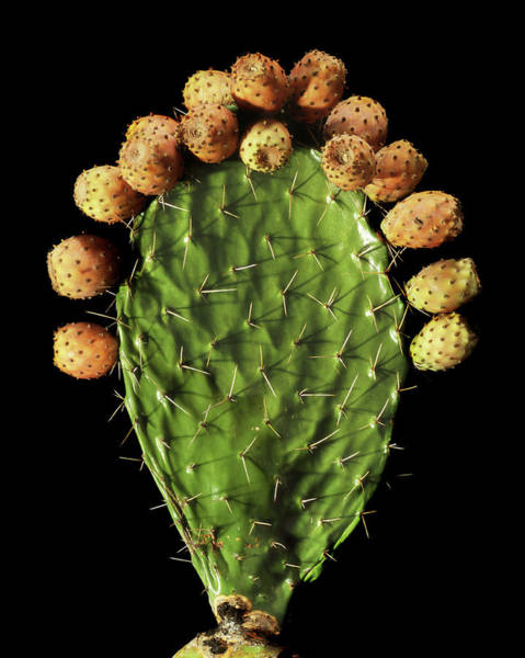 Opuntia Photograph - Prickly Pear (opuntia Ficus-indica) by Gilles Mermet