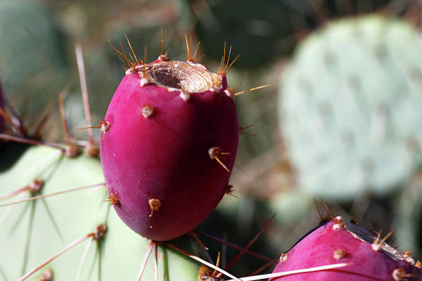 Adapted Photograph - Prickly Pear (opuntia Sp.) Fruit by Michael Szoenyi