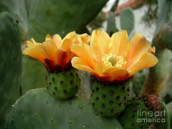 Photograph - Prickly Pear Perfection by Marilyn Smith