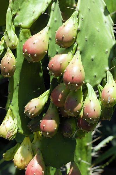 Opuntia Photograph - Prickly Pears (opuntia Ficus-indica) by Dr Jeremy Burgess/science Photo Library