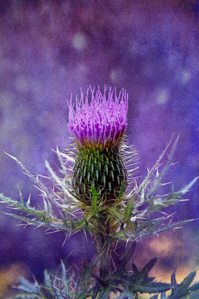 Photograph - Prickly Purple by Jemmy Archer