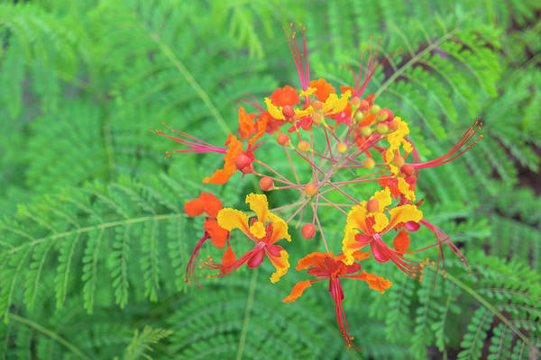Wall Art - Photograph - Pride Of Barbados, Austin, Texas, Usa by Lisa S. Engelbrecht