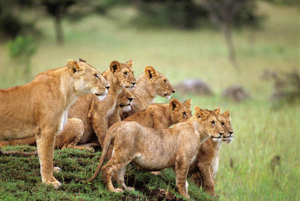 Wall Art - Photograph - Pride Of Lions On Grassy Mound Masai by Animal Images